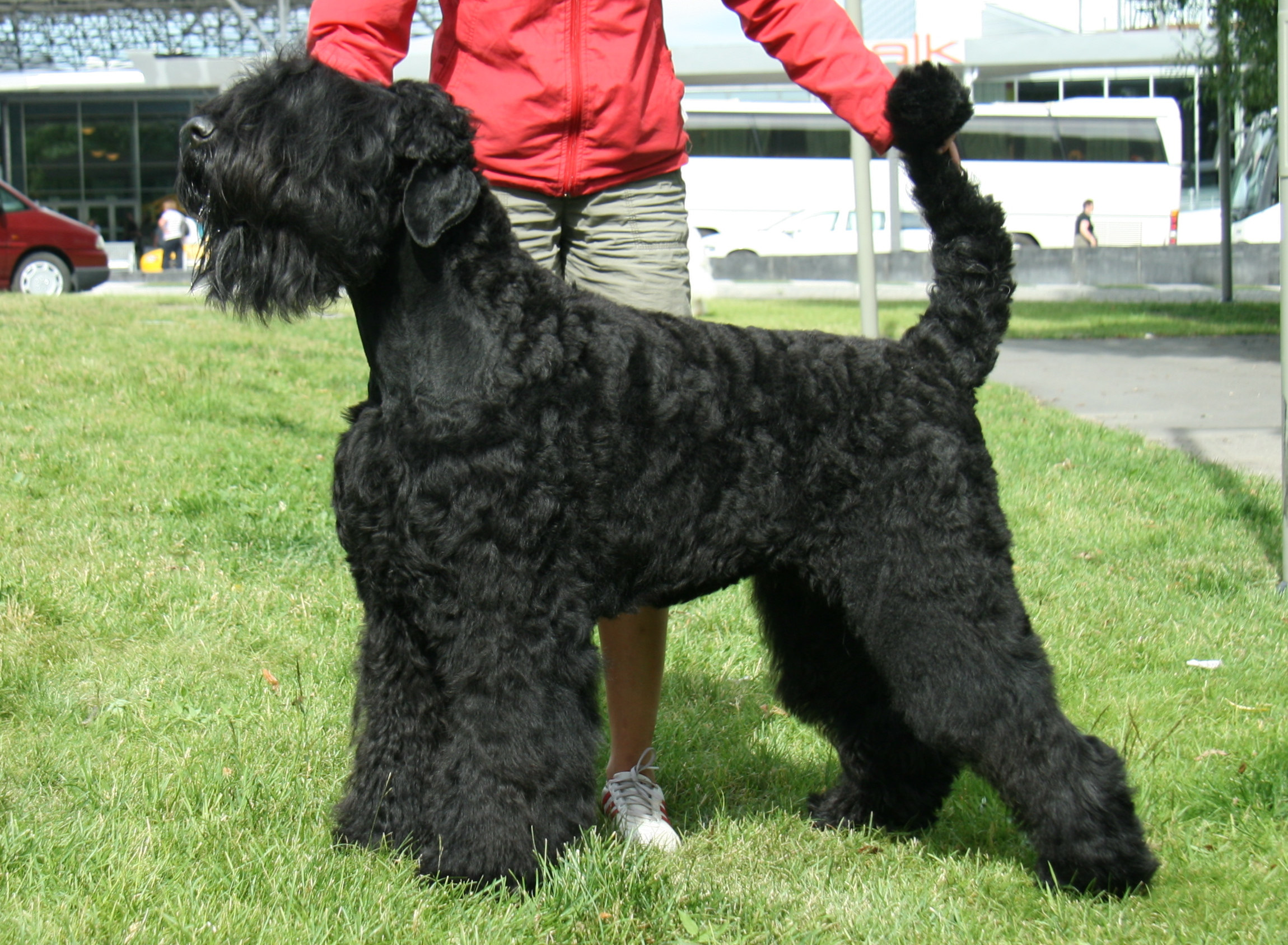 Lexi Raiabeth World Winner Black Russian Terriers Maailma
